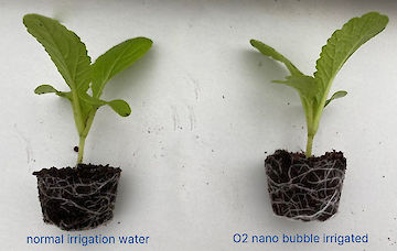 growing with nano bubbles black leaf lettucce 4 weeks